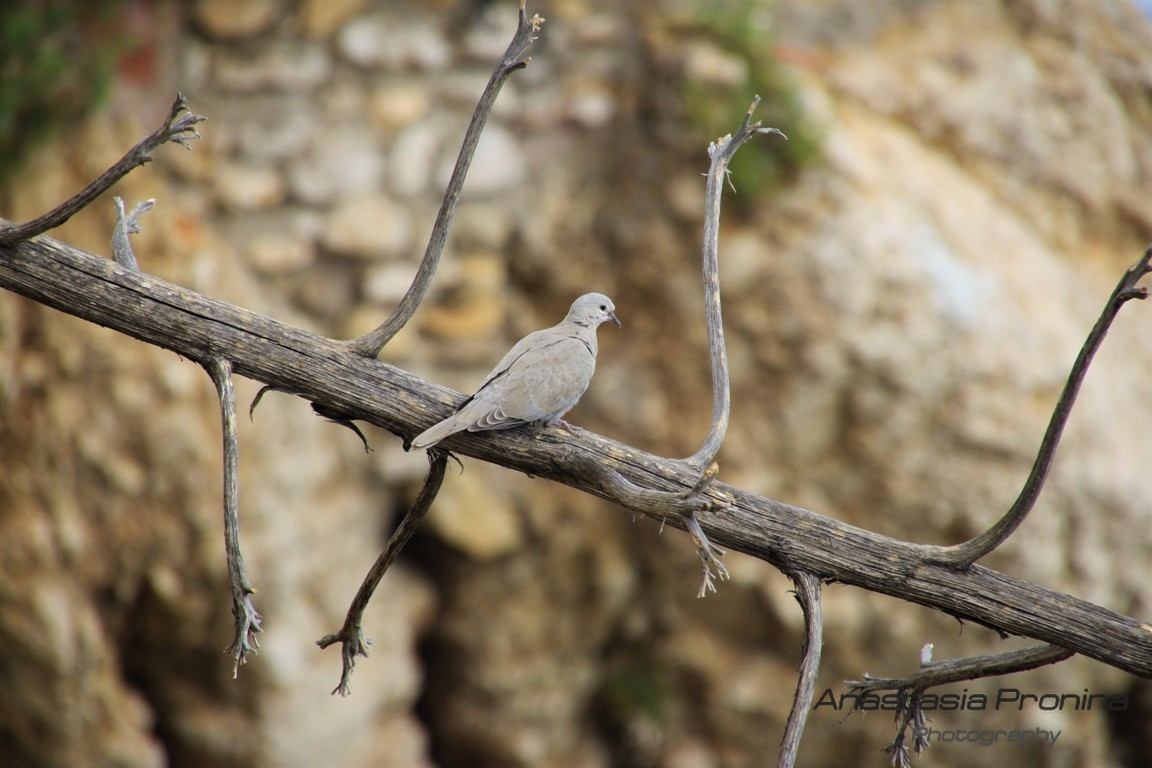 Turtledove, in the animal world, Spain